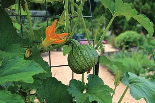 A vegetable grows vertically in the Charlotte Brody Discovery Garden