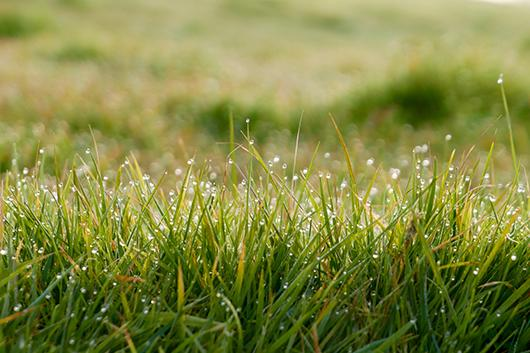 Dew collecting on grass.