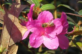 A bee resting on the petals of a pink flower.