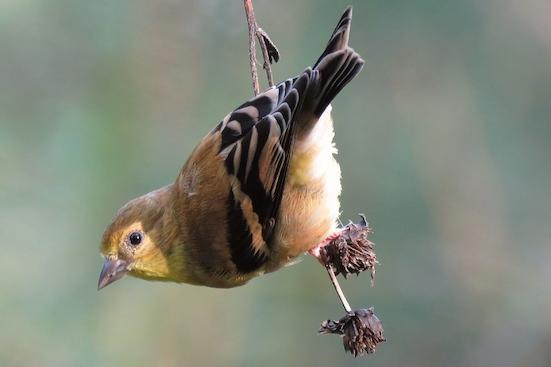 Goldfinch feeding on seedheads in Duke Gardens