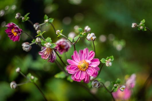 Japanese Anemones bloom in the fall