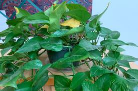 pothos plant in its pot