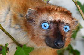 Image of critically endangered blue-eyed black lemur endemic to Madagascar