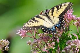 Joe-pye weed and butterfly