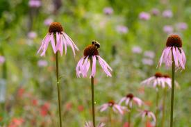 Echinacea in a prairie setting