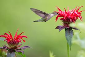 Hummingbird visits a bee balm flower