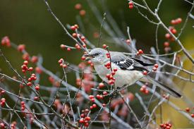 mockingbird eating berries in winter