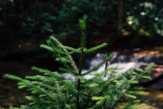 An evergreen tree grows at Duke Gardens.