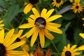 A bee rests on a sunflower in Duke Gardens.