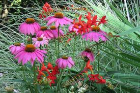 colorful echinacea and crocosmia