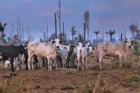 Photo of cattle in denuded forest