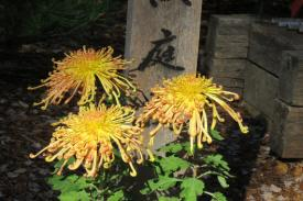 showy chrysanthemums