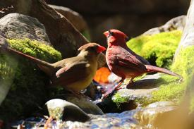 two cardinals in a stream